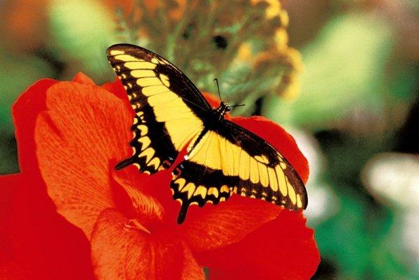 Jardin des papillons papillons exotiques vivants hunawihr en alsace - Images de papillon ...